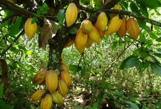 Cacao-Pods-On-Tree